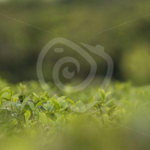 Tea plantation detailed view - Nature Stock Photo Agency