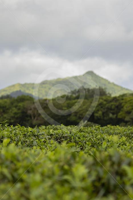 Tea plantation on Mauritius - Nature Stock Photo Agency