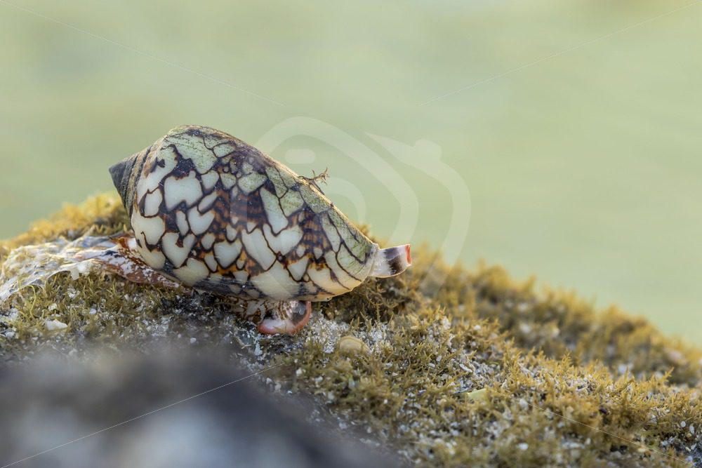 Textile cone on the reef - Nature Stock Photo Agency