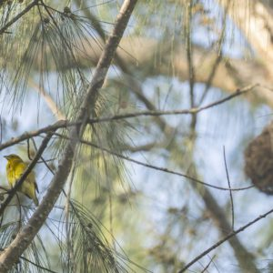 Village weaver with nest in front - Nature Stock Photo Agency