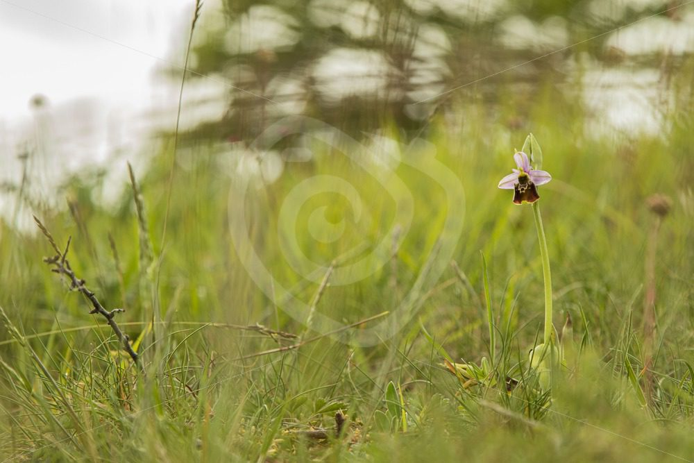 Bee orchid in its environment - Nature Stock Photo Agency