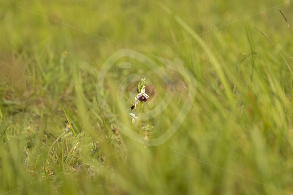 Bee orchid in the field - Nature Stock Photo Agency