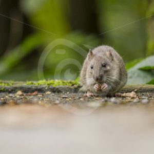Brown rat eating seeds - Nature Stock Photo Agency