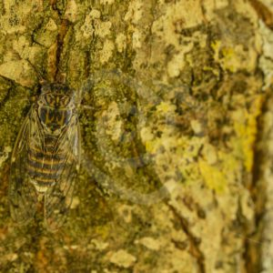 Camouflage cicada on a tree - Nature Stock Photo Agency