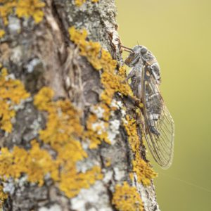 Cicada camouflaged on a tree with moss - Nature Stock Photo Agency