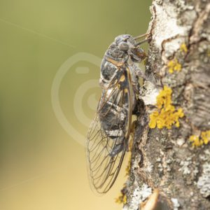 Cicada close-up - Nature Stock Photo Agency