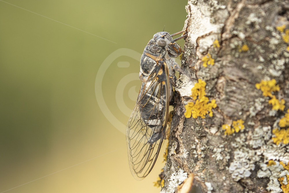 Cicada close-up - Nature Stock Photo Agency