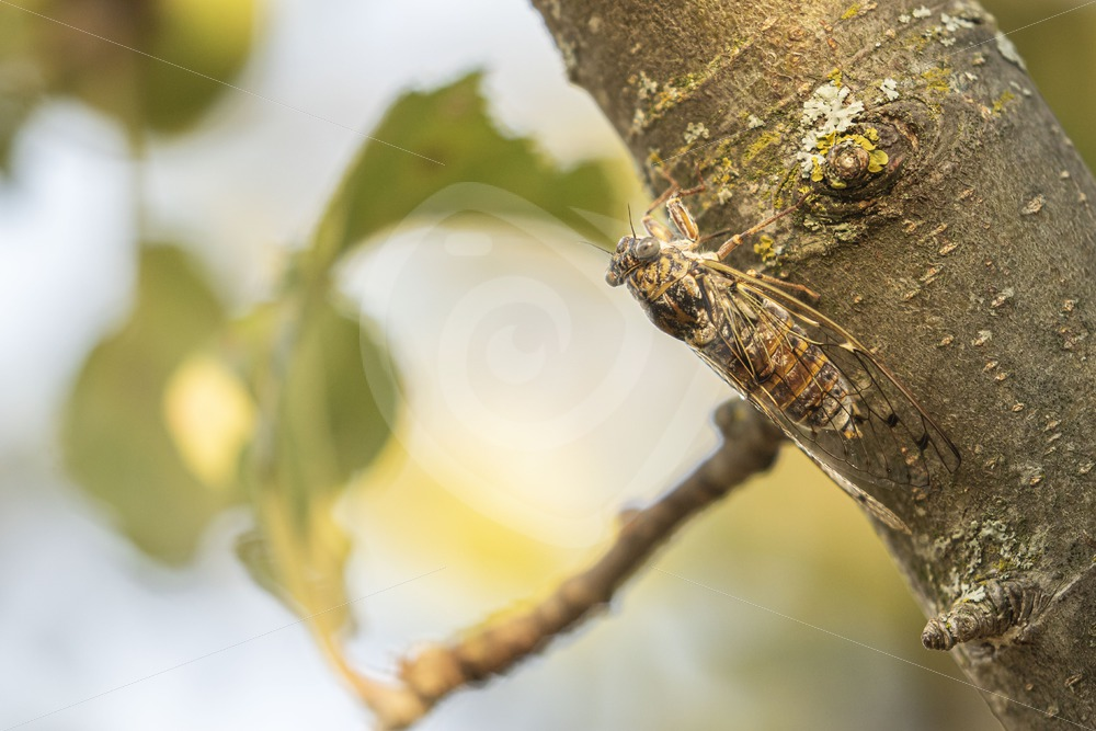 Cicada hanging in a tree - Nature Stock Photo Agency