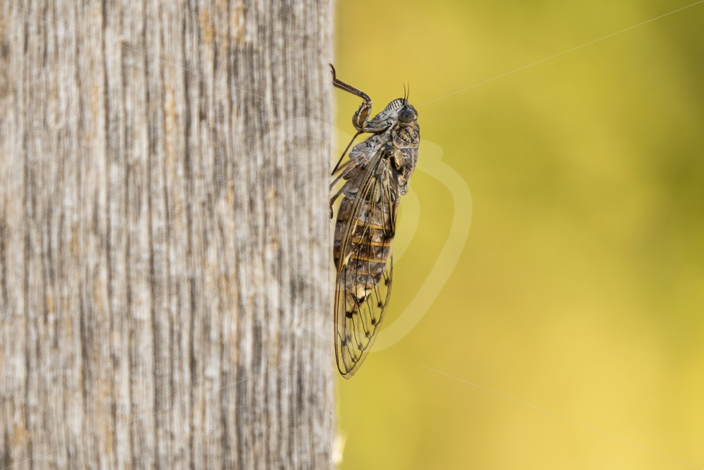 Cicada hanging on a wooden pole - Nature Stock Photo Agency