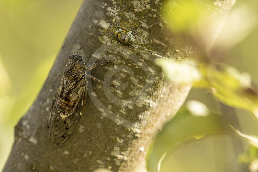 Cicada hidden in a tree - Nature Stock Photo Agency