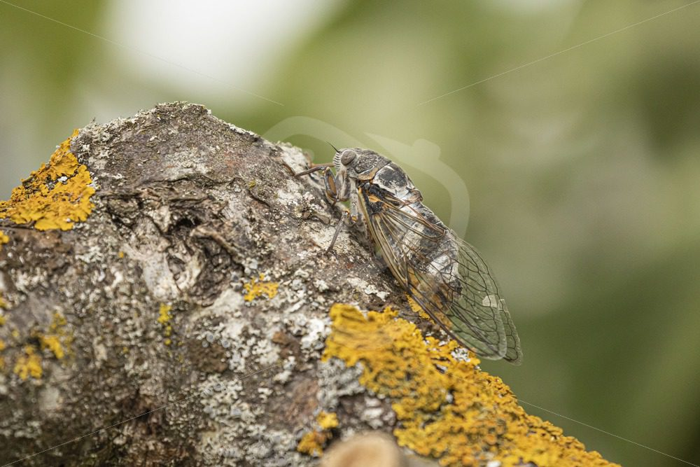 Cicada on a tree branch - Nature Stock Photo Agency