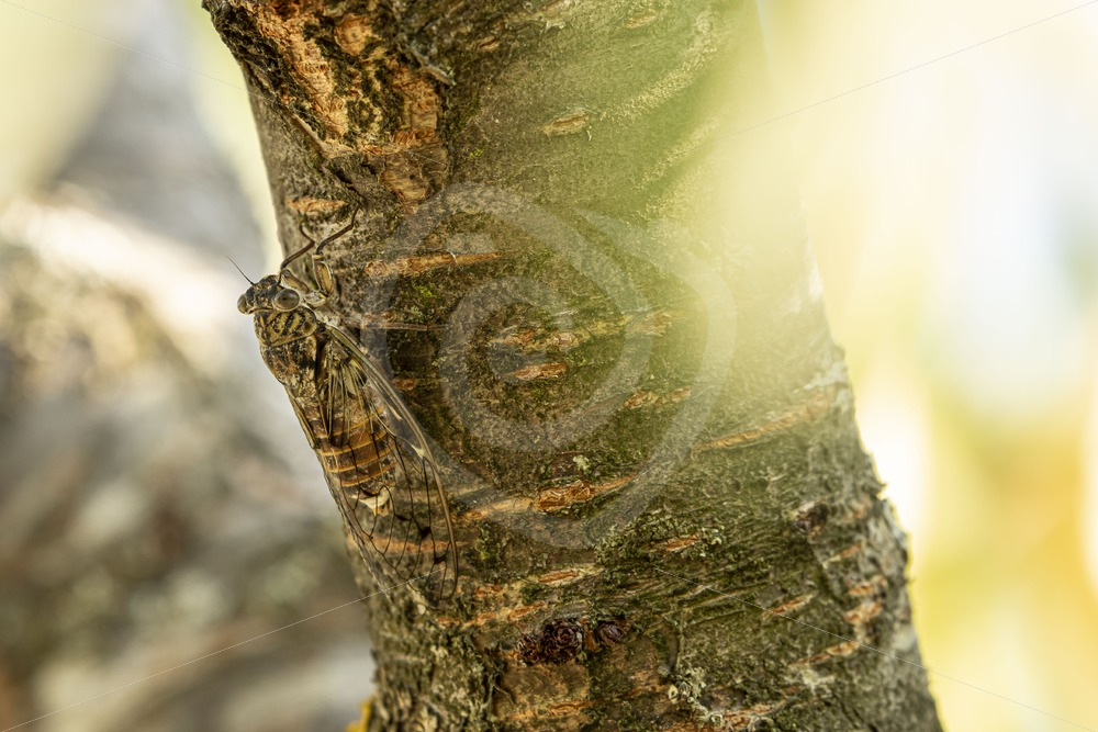 Cicada orni a tree in the South of France - Nature Stock Photo Agency