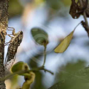Cicada orni between the leaves - Nature Stock Photo Agency