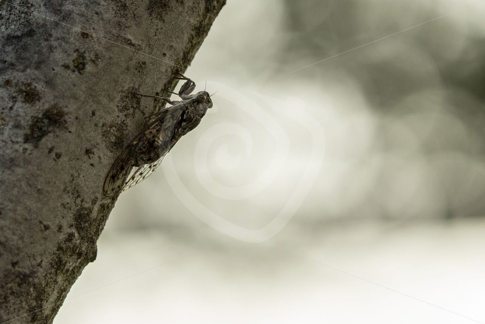 Cicada orni hanging in the evening - Nature Stock Photo Agency