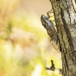 Cicada orni hanging vertical on a tree - Nature Stock Photo Agency