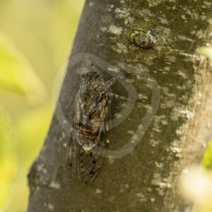 Cicada orni hidden on a tree - Nature Stock Photo Agency