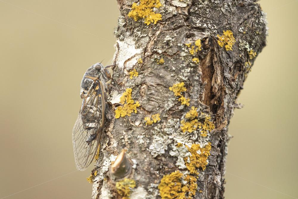 Cicada orni on a tree - Nature Stock Photo Agency