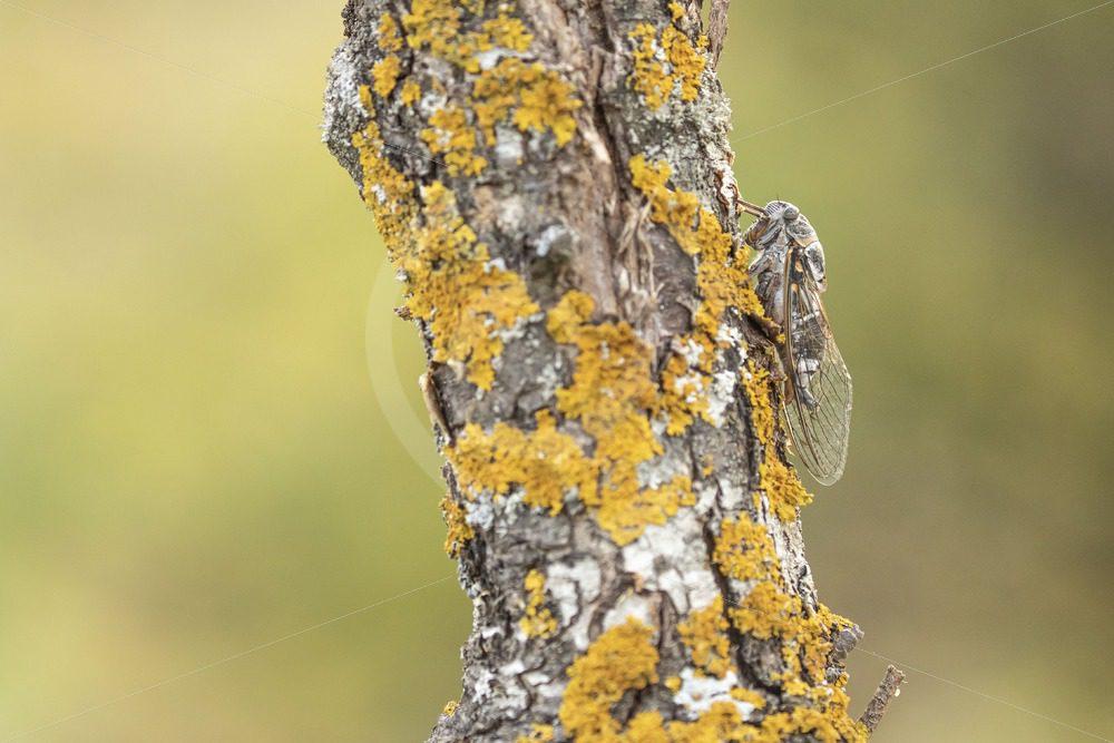 Cicada orni on a tree trunk - Nature Stock Photo Agency