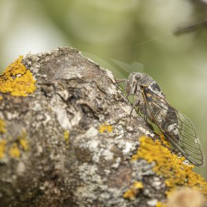 Cicada orni resting during the day - Nature Stock Photo Agency
