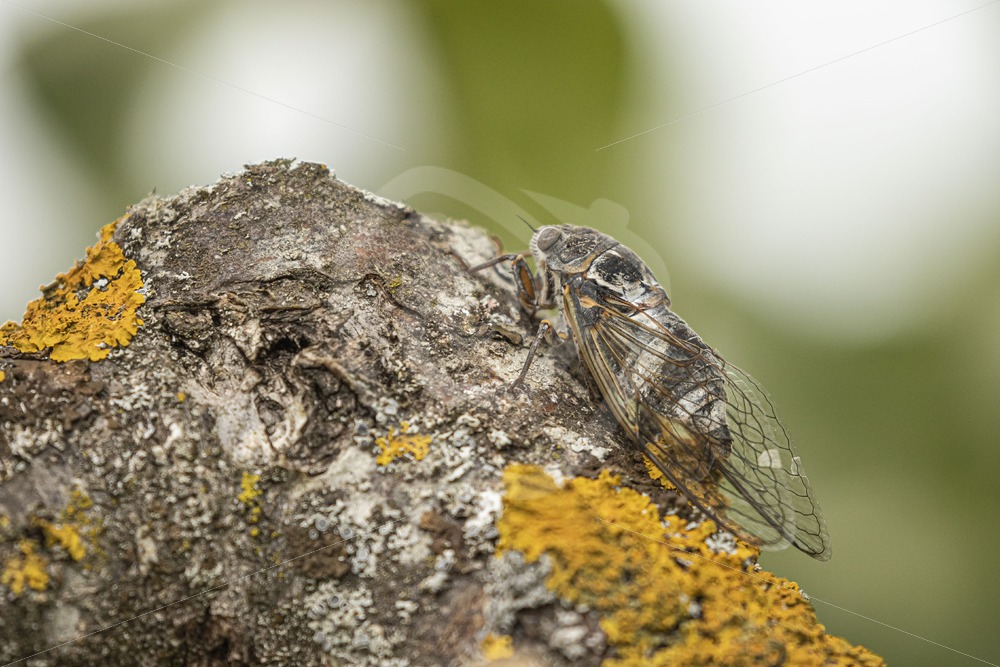 Cicada sitting on a branch - Nature Stock Photo Agency