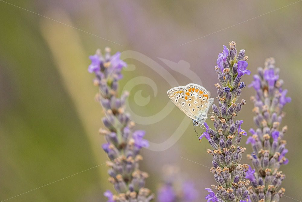 Common blue enjoying lavender - Nature Stock Photo Agency