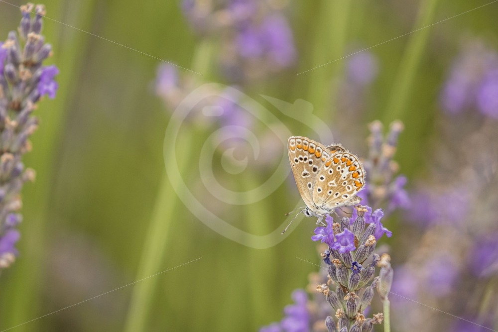 Common blue on lavender - Nature Stock Photo Agency