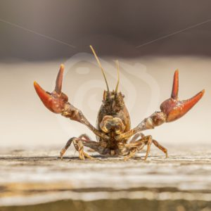 Crayfish showing its scissors - Nature Stock Photo Agency