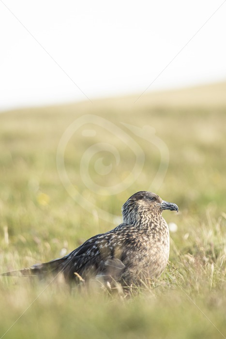 Great skua in the meadows - Nature Stock Photo Agency