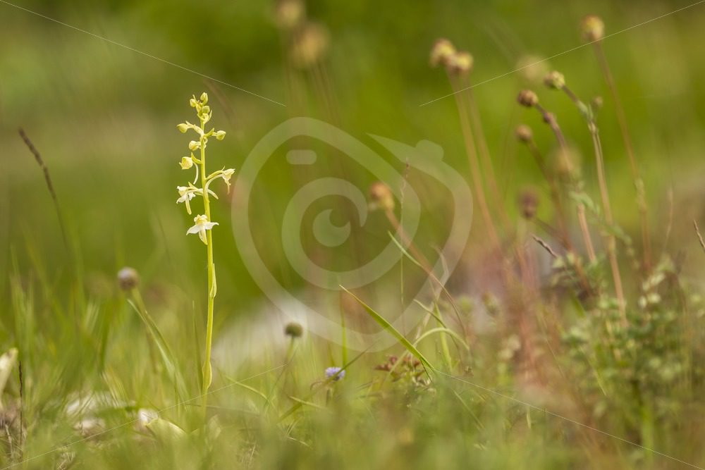 Greater butterfly-orchid in a meadow scene - Nature Stock Photo Agency