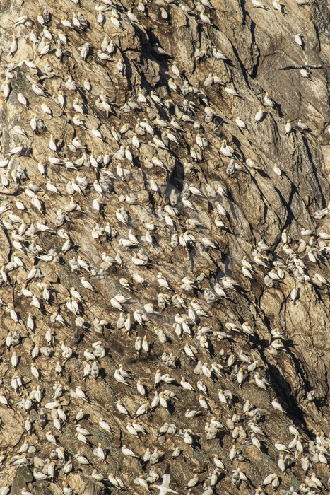 Hermaness cliffs full of gannets - Nature Stock Photo Agency