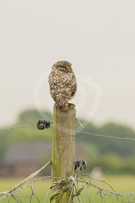 Little owl sitting on a meadow pole - Nature Stock Photo Agency