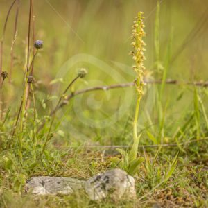 Man orchid between grasses - Nature Stock Photo Agency