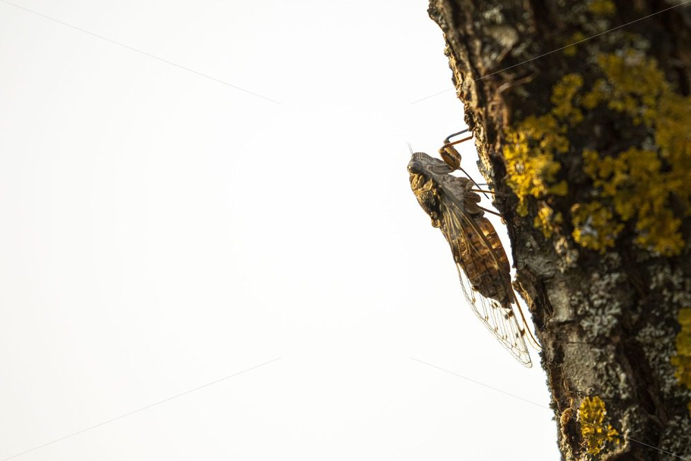 Manna cicada in the light on a tree branch - Nature Stock Photo Agency