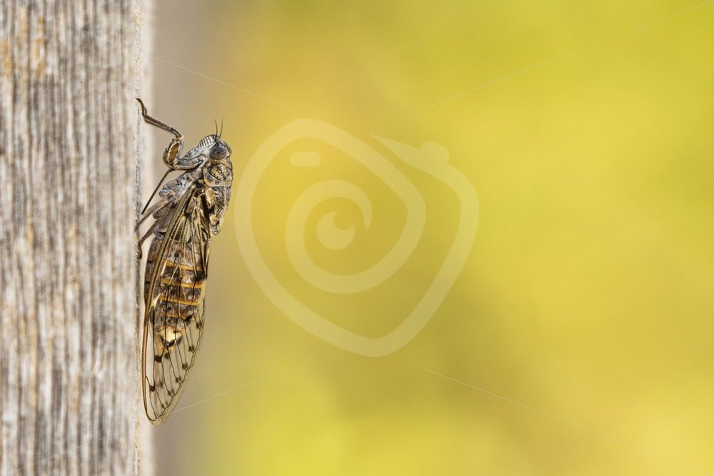 Manna cicada on a wooden plank - Nature Stock Photo Agency