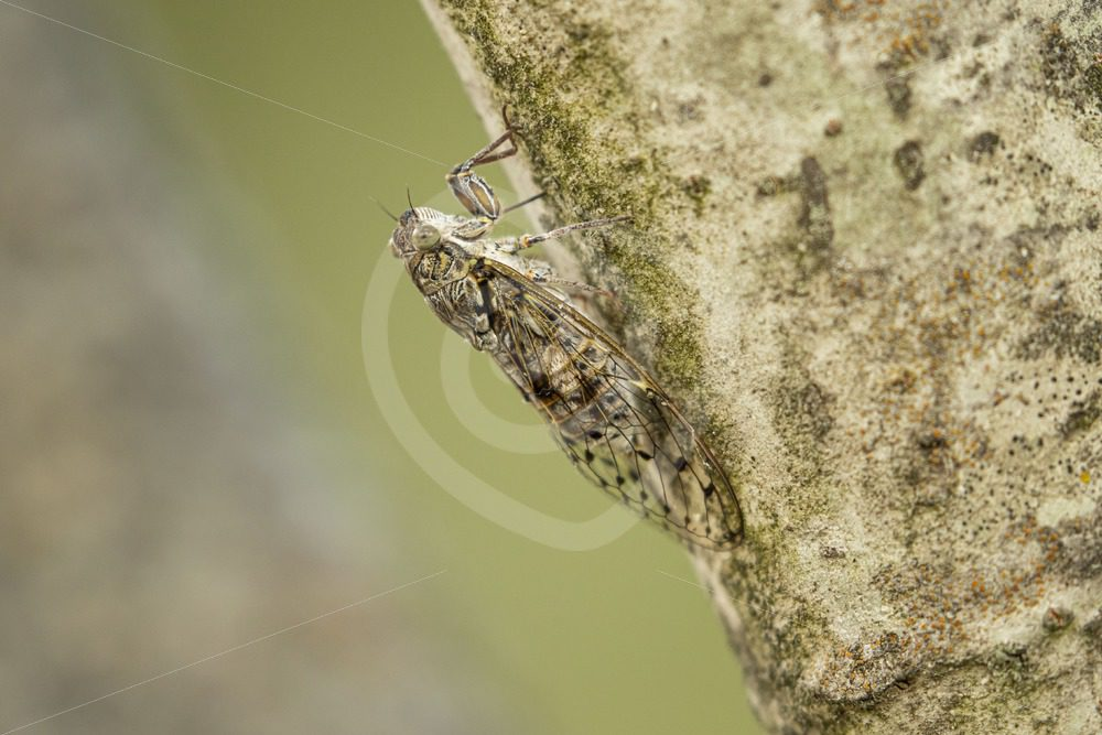 Manna cicada vertical on a tree - Nature Stock Photo Agency