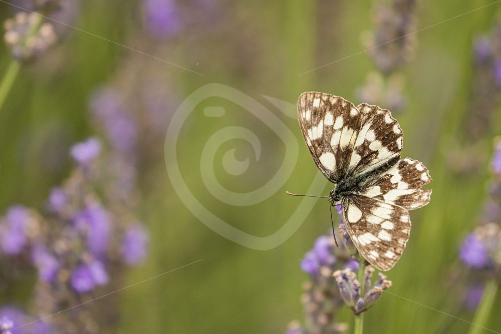 Marbled white butterfly on lavender - Nature Stock Photo Agency
