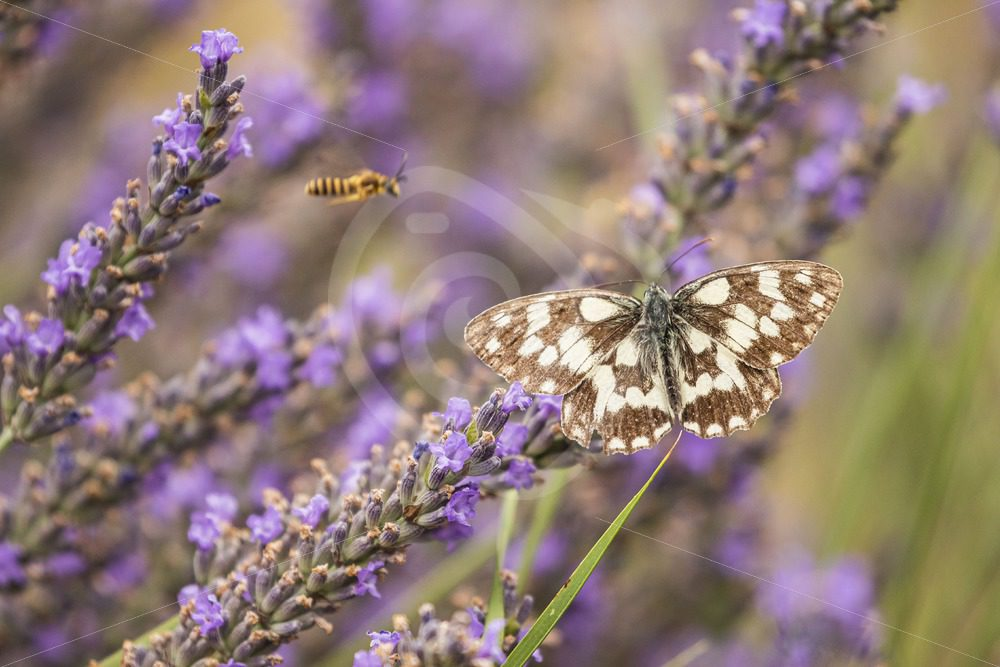 Marbled white on some lavender - Nature Stock Photo Agency