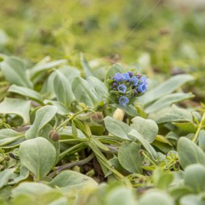 Oyster plant on the Shetland shore - Nature Stock Photo Agency