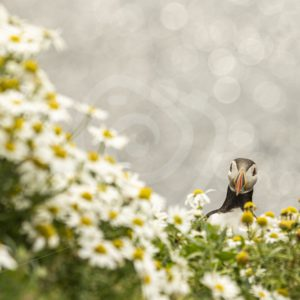 Puffin peeking from behind the flowers - Nature Stock Photo Agency
