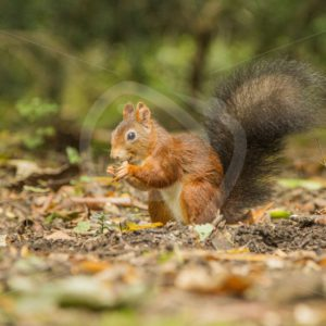 Red squirrel eating some seeds - Nature Stock Photo Agency