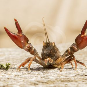 Red swamp crayfish posing with lifted scissors - Nature Stock Photo Agency