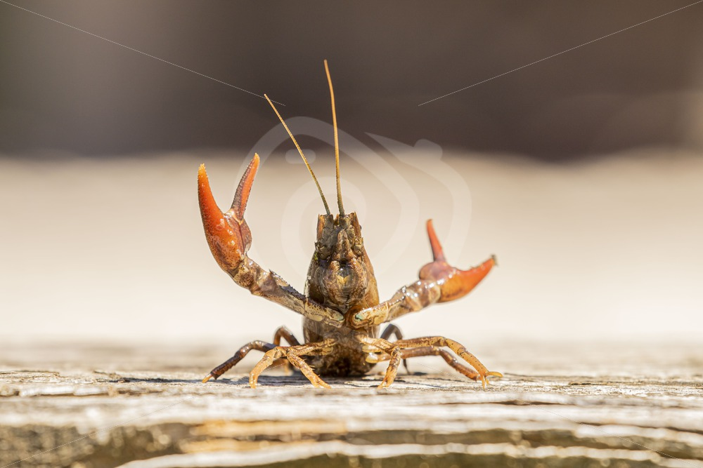 Red swamp crayfish showing off - Nature Stock Photo Agency