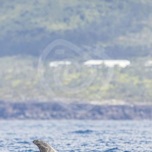 Risso dolphin in front of the coast - Nature Stock Photo Agency