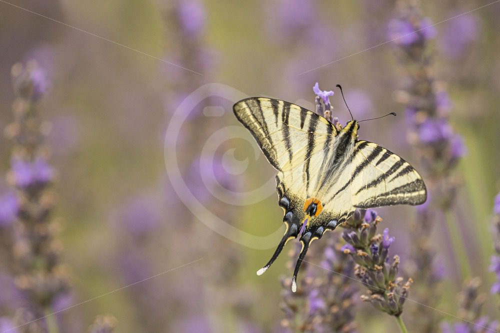 Scarce swallowtail on lavender - Nature Stock Photo Agency