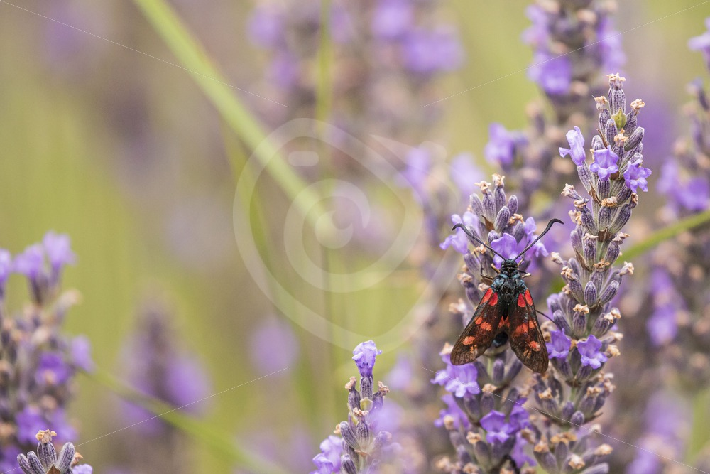 six-spot burnet on lavender - Nature Stock Photo Agency