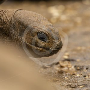 Aldabra tortoise head - Nature Stock Photo Agency