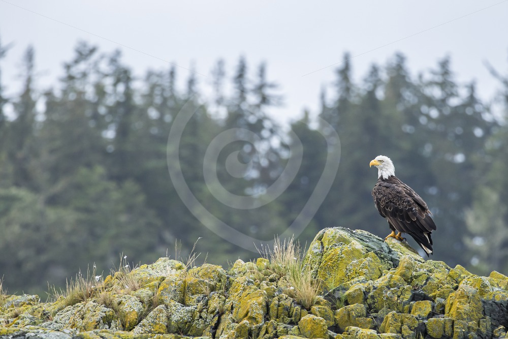American eagle on top of a rocky island - Nature Stock Photo Agency