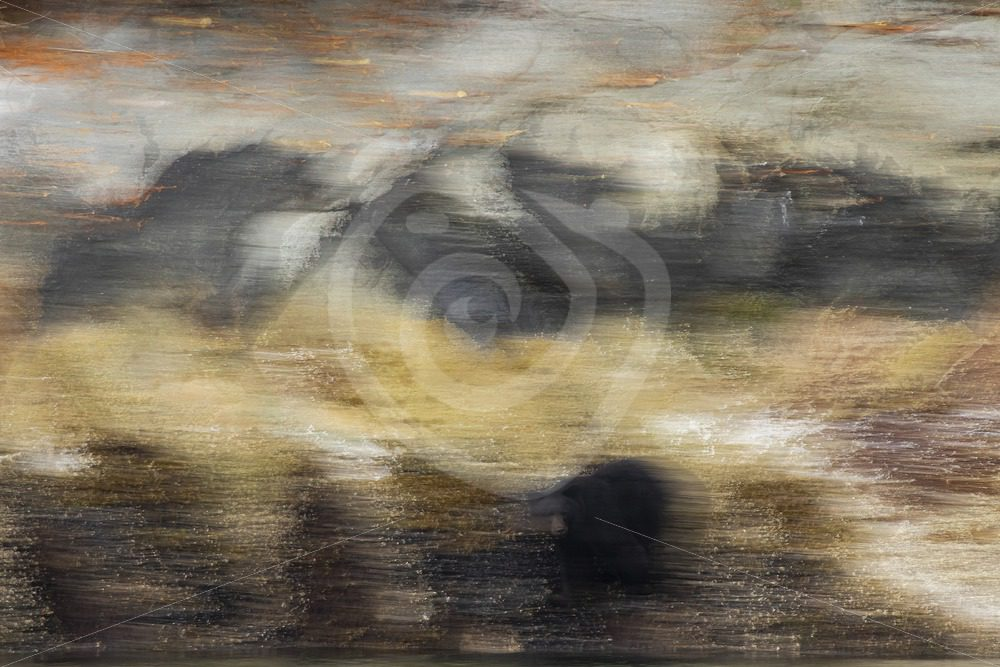 Artistic panning view of a black bear - Nature Stock Photo Agency