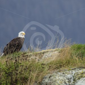 Bald eagle on a rocky island - Nature Stock Photo Agency