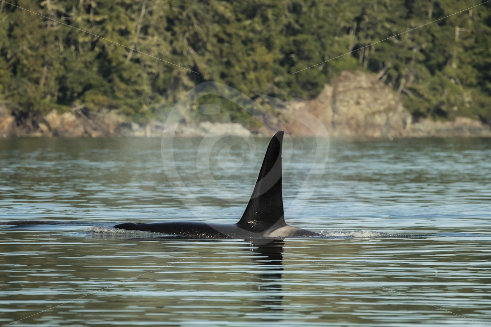Big orca male dorsal fin - Nature Stock Photo Agency